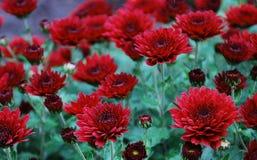 röda chrysanthemums Arkivbild