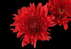 röda chrysanthemums royaltyfria foton