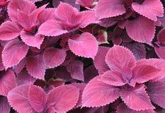 Röda coleusväxter Fotografering för Bildbyråer