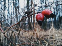 röda cranberries Arkivfoton