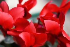 Röda cyklamenblommor stänger sig upp royaltyfri foto