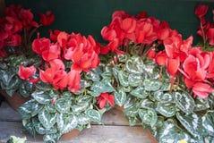 Röda cyklamenväxter fotografering för bildbyråer
