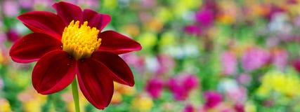 Röda Dahlia Flower Border Design Fotografering för Bildbyråer