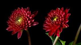 Röda Dahlia Flower Timelapse arkivfilmer