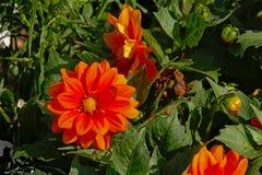 Röda dahliablommor - dahliacoccinea royaltyfri fotografi