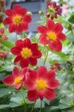 Röda dahlias i trädgården arkivbilder
