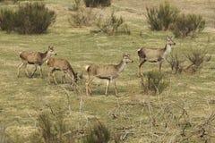 Röda deers med unga djur Royaltyfria Bilder