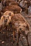 Röda deers och lismar flocken Royaltyfria Foton