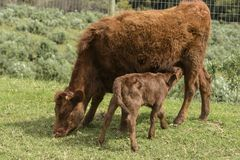 Röda Dexter Cow, betraktade en sällsynt avel, med kalven som dricker från henne, som hon betar på grönt gräs royaltyfria bilder
