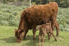 Röda Dexter Cow, betraktade en sällsynt avel, med kalven som dricker från henne arkivfoton