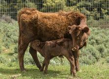 Röda Dexter Cow, betraktade en sällsynt avel som knuffar hennes nyligen födda kalv för att dricka royaltyfri bild