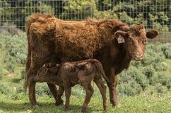 Röda Dexter Cow, betraktade en sällsynt avel som vänder mot kameran, med den nyligen födda kalven vid hennes sida arkivfoton