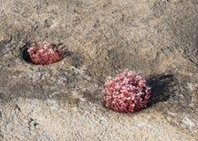 Röda Diamorphia cirklar Arkivfoto