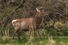Röda djurlivhjortar royaltyfria foton
