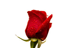 röda droppar för ros c fotografering för bildbyråer
