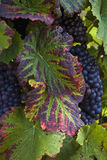 röda druvor Arkivbilder