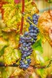 röda druvor i hösten Royaltyfri Bild
