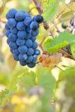 Röda druvor på en vinranka Royaltyfri Fotografi