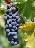 Röda druvor på vinen. Arkivfoto