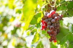 Röda druvor på vinrankan Arkivfoton