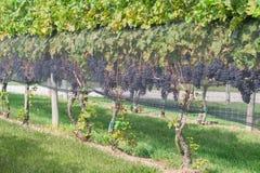 Röda druvor på vinrankan Royaltyfri Foto
