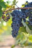 Röda druvor på vinrankan fotografering för bildbyråer