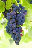 Röda druvor på vinrankan med gröna sidor royaltyfria foton