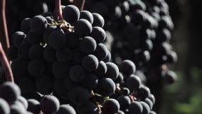 Röda druvor som är klara att skördas stock video