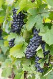 Röda druvor som är klara att skördas på en vingård Arkivbild