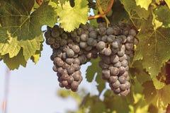 Röda druvor, vingård royaltyfri fotografi
