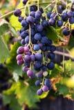 Röda druvor, vinranka royaltyfria foton