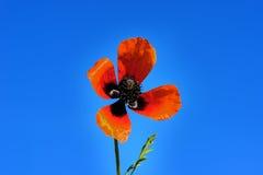 Röda fältvallmo växer i det gröna gräset, morgon Fotografering för Bildbyråer