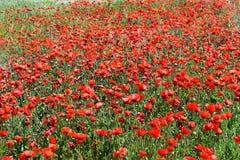 röda fältvallmor Arkivbild