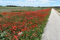 röda fältvallmor Arkivfoto