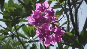 Röda färgade bougainvilleablommor svänger i Kishkindha Moolika bonsaiträdgård i Sri Ganapathy Sachchidananda Ashrama stock video
