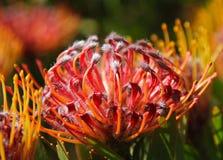 Röda för Closeup ljusa och gula proteablommor på växten med sidor i bakgrund Sydafrika Sikten över stad och tabellberg från seaa  royaltyfri foto