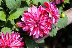 Röda för pepparmintstil blommar den flammiga och vita dahlian fotografering för bildbyråer