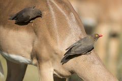 Röda fakturerade Oxpecker (den Buphagus erythrorhynchusen) på impala Arkivfoto