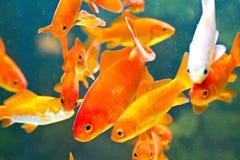 Röda fiskar i akvarium Arkivfoto
