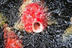 Röda fiskar i dammet Royaltyfria Foton