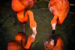 Röda flamingo från Sydamerika Fotografering för Bildbyråer