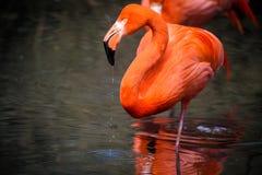 Röda flamingo från Sydamerika Arkivfoton