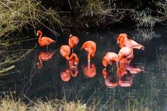 Röda flamingo från Sydamerika Arkivbild
