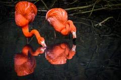 Röda flamingo från Sydamerika Royaltyfri Bild