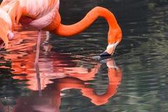 Röda flamingo från Sydamerika Arkivbilder