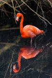 Röda flamingo från Sydamerika Royaltyfri Foto