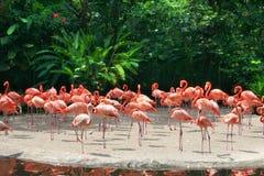 röda flamingos Royaltyfria Foton