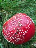 Röda flugsvampsvampar arkivfoto