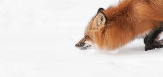 Röda flyttningar för räv (Vulpesvulpes) till och med snowen Royaltyfri Bild