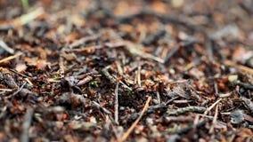 Röda Forest Ants Formica Rufa On en stupad gammal trädstam Myrainflyttningmyrstack stock video